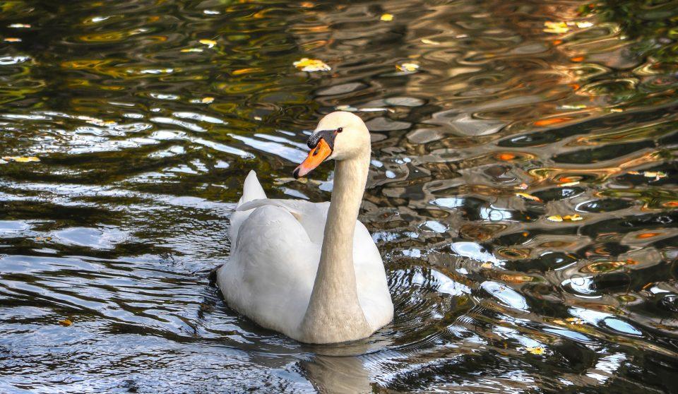 Cigno - Canneto di fondotoce - fondotoce - riserva naturale di fondotoce - istanti in viaggio - lago maggiore - verbania